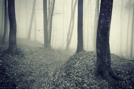 Dark forest with fog between beech trees photo