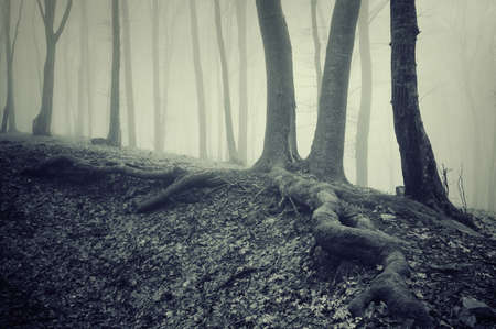 spooky tree with roots in a misty dark forest photo