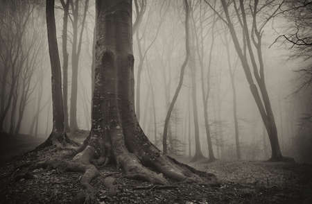 photo of an old tree with big roots in a misty forest in sepia