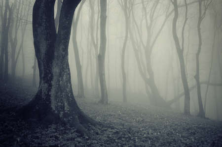 old mysterious trees in a forest with fog Stock Photo