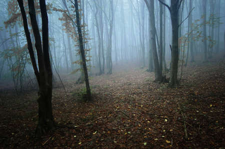 Dark mysterious forest with fog trough the trees photo