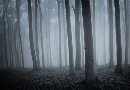 elegant forest with old trees and blue fog