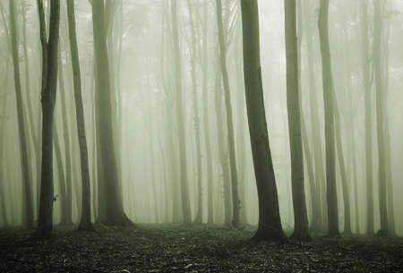 Forest with green fog and beech trees Stock Photo - 10817979