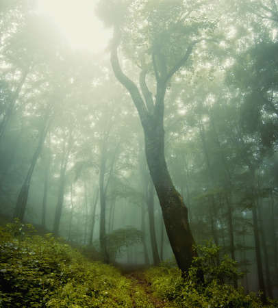 entire: forest vegetation around a huge old tree in a forest with fog