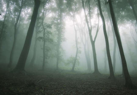 beautiful forest with fog between trees and bright light