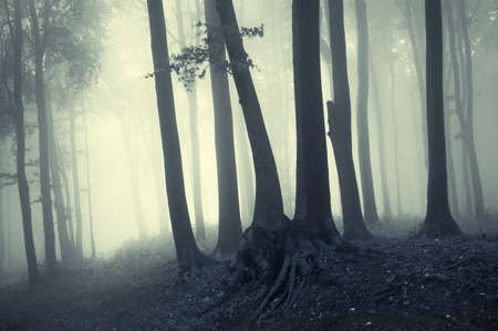 Beech trees in counter light in a foggy forest photo