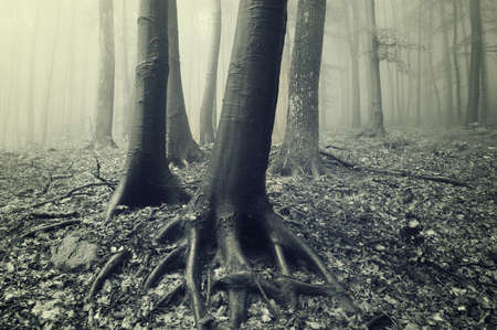 tree trunks and roots in a eerie forest with fog photo