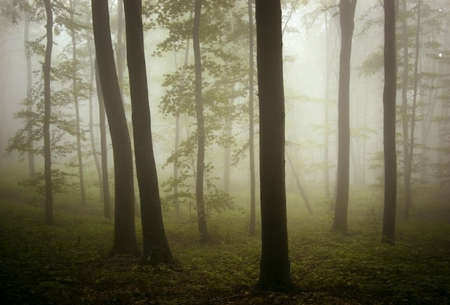 beautiful misty forest after rain photo