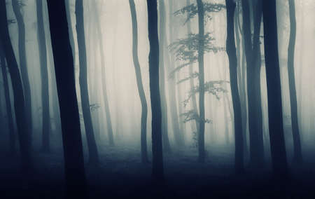 dark forest with fog and silhouettes of beech trees Stock Photo - 11386242