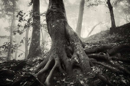 eerie: old tree with huge roots in a spooky forest with dark fog