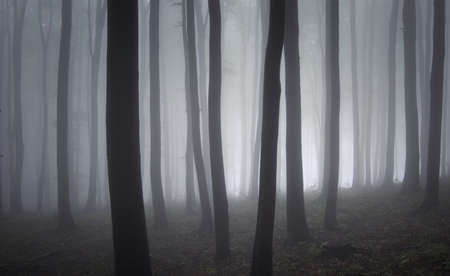 elegant forest of beech trees with fog and light Stock Photo