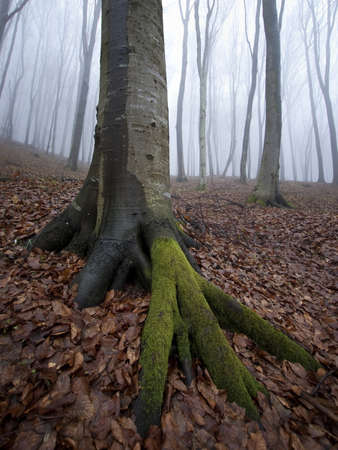 vertical photo of a tree with roots in a misty forest photo