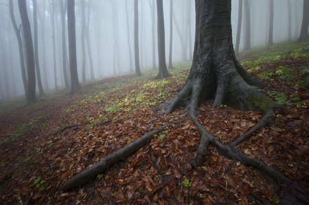 black giant: misty forest in autumn and roots of a tree Stock Photo