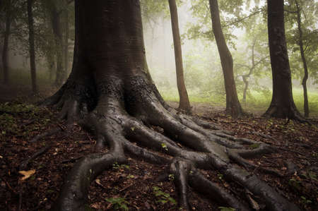 roots of a tree in a misty forest photo