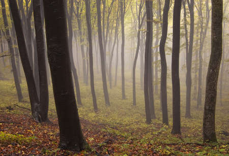 colorful forest with dark trees and fog in autumn Stock Photo - 11925864