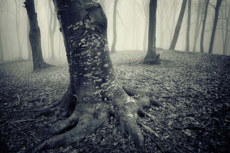tree with interesting texture on the trunk and strong roots in a misty forest  photo
