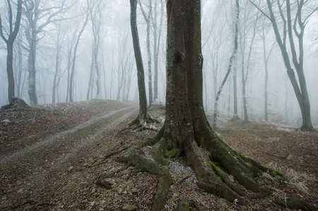 road and path through: path through a foggy forest with an old tree near the road