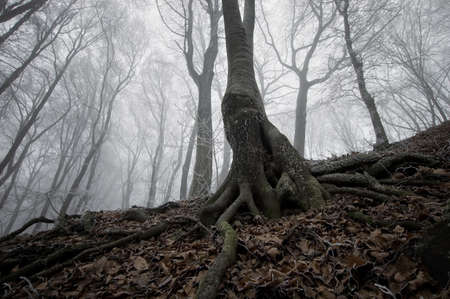 dark tree in a frozen forest with interesting roots and misty background photo