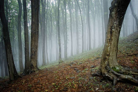 elegant forest picture with trees and fog  Stock Photo - 13078506