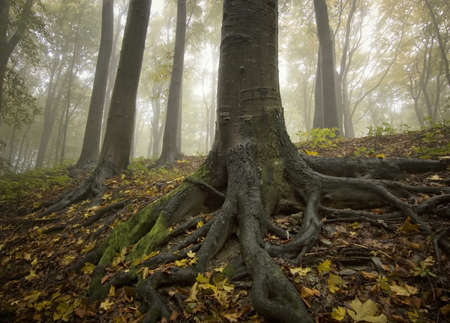 tree roots: black tree with big roots in a golden forest in autumn