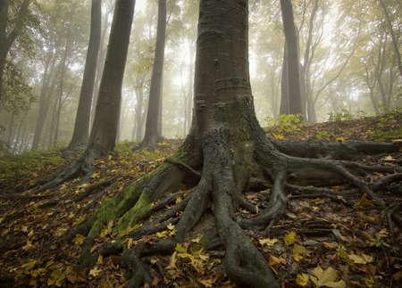 arbol raices: árbol negro, con grandes raíces en un bosque de oro en el otoño Foto de archivo