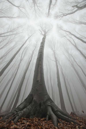 big tree in a misty forest reaching for light