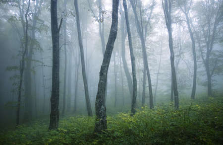 cold rainy day in a forest with fog between trees and green grass  photo