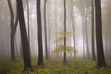isolated tree in a misty forest at autumn  Stock Photo - 13078488