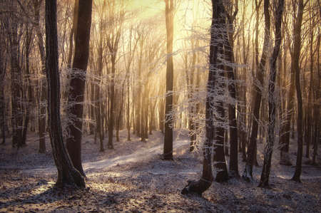 morning sun rays in a forest with frozen trees in winter  photo