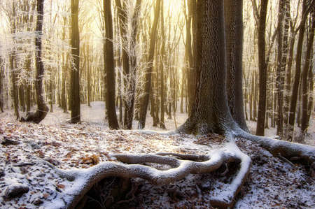 sun rising in a beautiful forest with frozen trees in winter photo