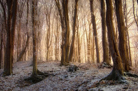 sunrise in a beautiful forest with frozen trees in winter  photo