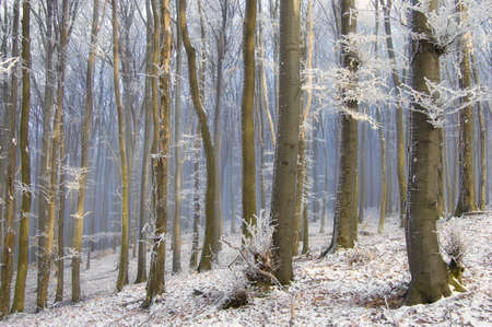 fog between trees in a beautiful forest with frozen trees in winter  photo