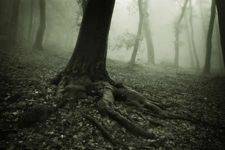 roots of a big tree with fog in background Stock Photo - 13403286