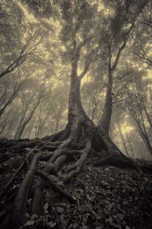 mysterious looking tree with spread roots in a dark misty forest