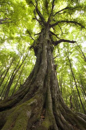 tree roots: foto vertical de un viejo árbol en un bosque verde Foto de archivo