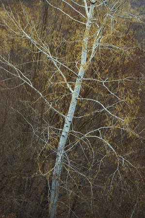 white aspen trunk with yellow leafs and autumn colors in the background Stock Photo - 13403315