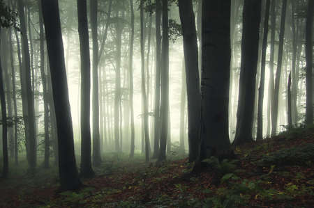 sunrise in a green forest with fog and dark trees
