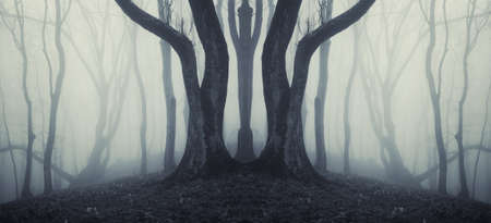 big old trees in a mysterious forest with fog after rain  photo