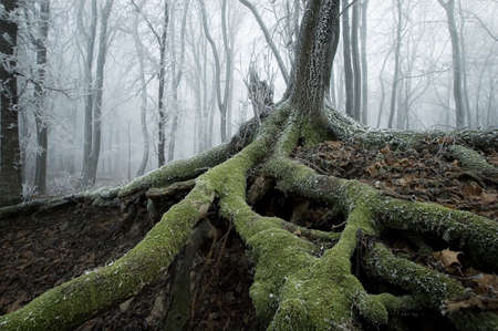 deep roots: old tree with big roots on a cold november morning with fog in the background