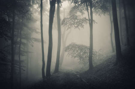 silhouette of trees in a forest with fog  photo