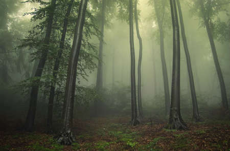 green forest with fog between trees  photo