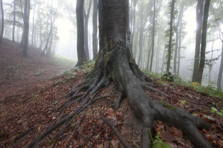 Natural landscape with tree with big roots in a forest with fog  photo