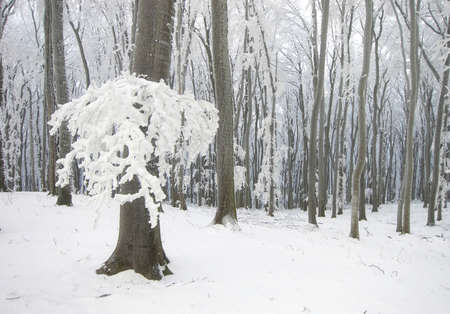 frozen tree in a forest with snow in winter  photo