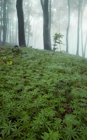 little tree in a green forest with fog Stock Photo - 14124986