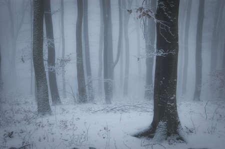 arboles blanco y negro: por la noche en un bosque con nieve en invierno Foto de archivo