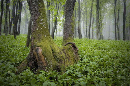 misty forest with green grass on the ground  Stock Photo - 14585125