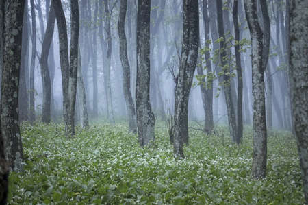mist in a blooming forest Stock Photo - 14585103