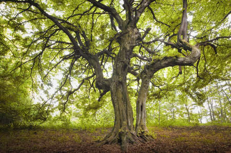 huge: old tree in a green forest  Stock Photo