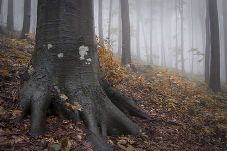 tree roots in a misty forest photo