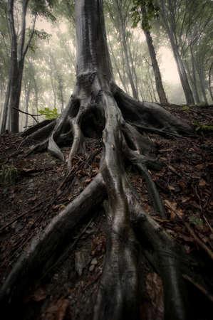 boomwortels in nevelig bos sepia foto Stockfoto
